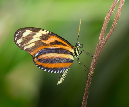 Disturbed Tigerwing butterfly Mechanitis polymnia sitting on a twig Banco de Imagens