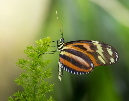 Disturbed Tigerwing butterfly Mechanitis polymnia sitting on a plant Stock Photo - 20632050