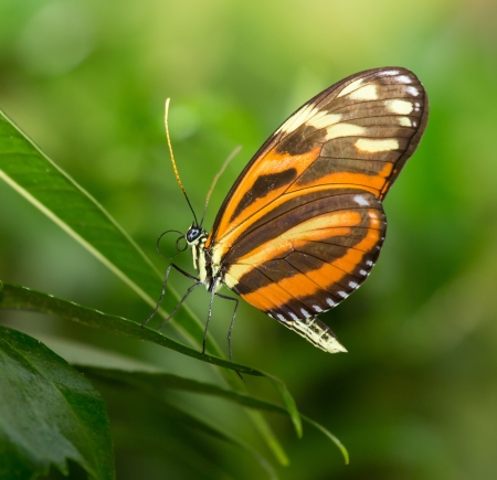 disturbed: Disturbed Tigerwing butterfly Mechanitis polymnia sitting on a leaf Stock Photo