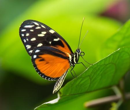 타이거 Longwing 나비 Heliconius hecale 녹색 잎에 앉아