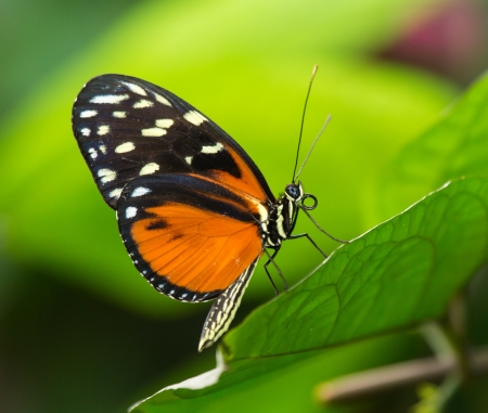 Tiger Longwing butterfly Heliconius hecale sitting on a green leaf