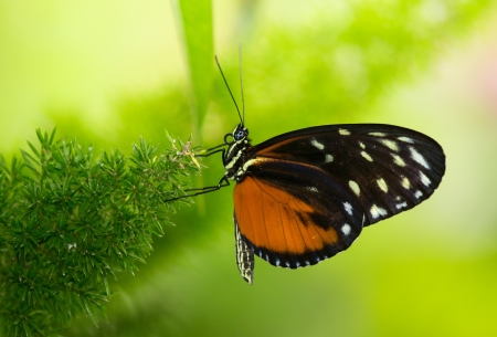 Tiger Longwing butterfly Heliconius hecale sitting on a plant Stock Photo - 20632063