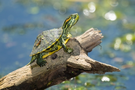 Young Red-eared Slider pond turtle Trachemys scripta elegans basking on a log in Maryland during the Summer