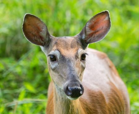 virginianus: White-tailed Deer doe Odocoileus virginianus standing in shady woodland in Maryland during the Summer