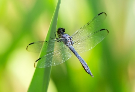 Slaty Skimmer dragonfly Libellula incesta perching on a leaf in Maryland during the Summer