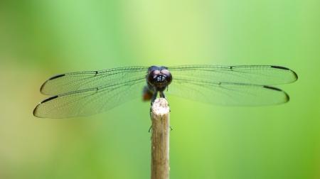 incesta: Slaty Skimmer dragonfly Libellula incesta sitting on a twig in Maryland during the Summer