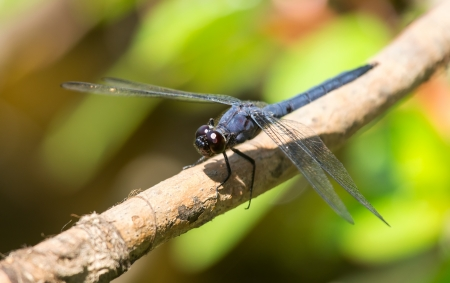 incesta: Slaty Skimmer dragonfly Libellula incesta sitting on a twig in Maryland during the Summer