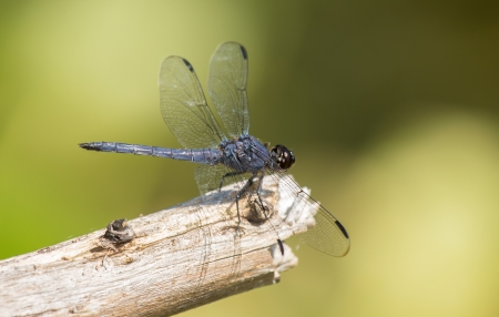 Slaty Skimmer dragonfly Libellula incesta sitting on a twig in Maryland during the Summer