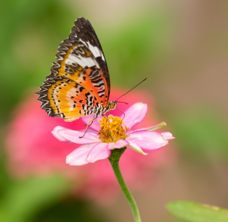 biblis: Red Lacewing butterfly Cethosia biblis feeding on a flower Stock Photo