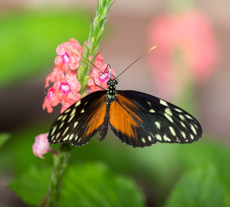 Tiger Longwing butterfly Heliconius hecale feeding on a flower Stock Photo - 20632111