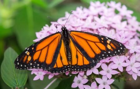 compound eyes: Monarch butterfly Danaus plexippus feeding on wildflowers in Maryland during the Summer