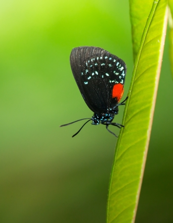 entomological: Atala butterfly Eumaeus atala resting on a green leaf
