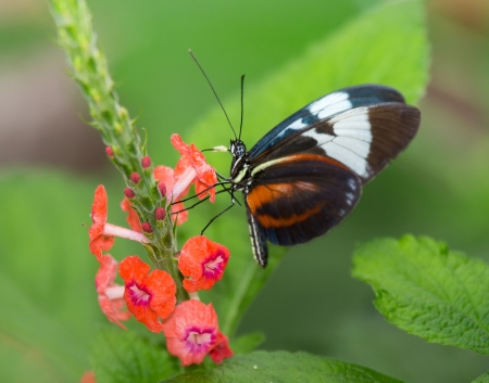 Grinning Heliconian butterfly Heliconius cydno feeding on a flower Stock Photo - 20818197