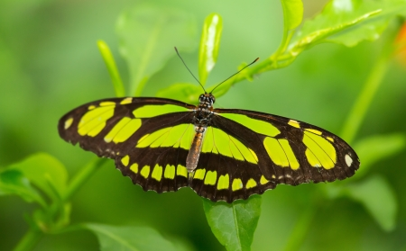 dido: Scarce Bamboo Page butterfly Philaethria dido resting on a leaf Stock Photo