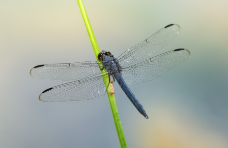 Slaty Skimmer dragonfly Libellula incesta perching on a reed in Maryland during the Summer