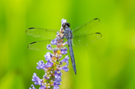 pruinescence: Slaty Skimmer dragonfly Libellula incesta perching on a flower in Maryland during the Summer