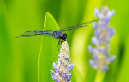 Slaty Skimmer dragonfly Libellula incesta perching on a flower in Maryland during the Summer