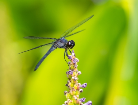 odonatology: Slaty Skimmer dragonfly Libellula incesta perching on a flower in Maryland during the Summer