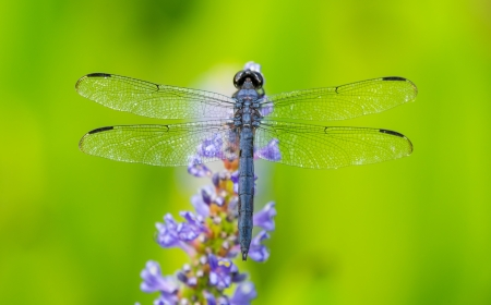 incesta: Slaty Skimmer dragonfly Libellula incesta perching on a flower in Maryland during the Summer