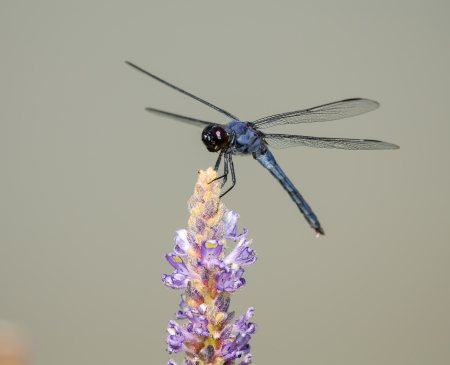pruinose: Slaty Skimmer dragonfly Libellula incesta perching on a flower in Maryland during the Summer