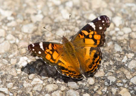 nymphalidae: American Painted Lady butterfly Vanessa cardui basking in the sun in Maryland during the Summer