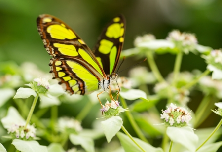 Side view of a Scarce Bamboo Page butterfly Philaethria dido feeding on a flower Stock Photo - 20959714