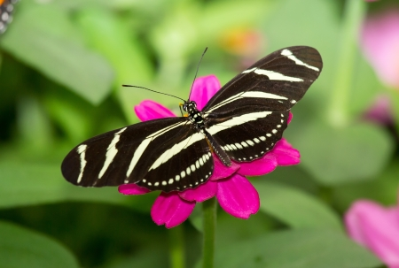 Close up of a Zebra Heliconian butterfly Heliconius charithonia feeding on a pink flower photo
