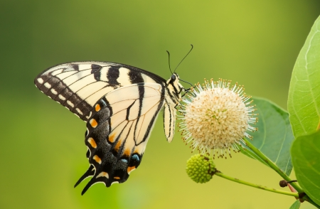 Eastern Tiger Swallowtail butterfly Papilio glaucus feeding on Buttonbush wildflowers in Maryland during the Summer