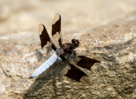 pruinescence: Male Common Whitetail Plathemis lydia dragonfly perching on a rock by a lake in Maryland during the Summer