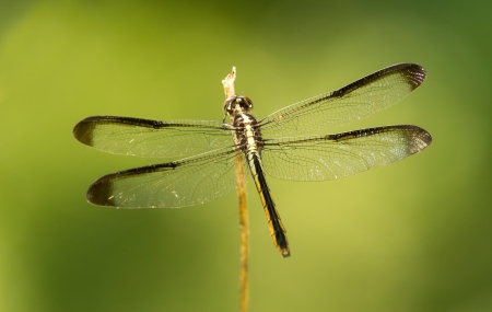 odonatology: Female Great Blue Skimmer dragonfly Libellula vibrans perching on a twig in Maryland during the Summer