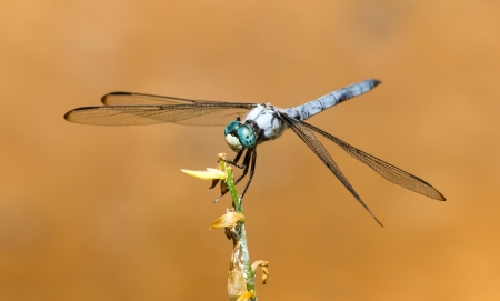 odonatology: Male Great Blue Skimmer dragonfly Libellula vibrans perching on a twig in Maryland during the Summer Stock Photo
