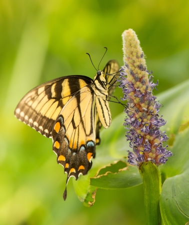 Eastern Tiger Swallowtail butterfly Papilio glaucus feeding on Pickerel Rush wildflowers in Maryland during the Summer photo