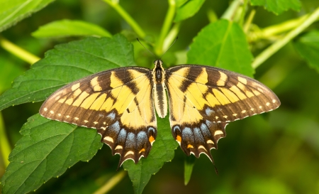 Female Eastern Tiger Swallowtail butterfly Papilio glaucus resting on a leaf in Maryland during the Summer Stock Photo