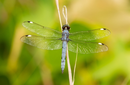 pruinescence: Spangled Skimmer Libellula cyanea dragonfly perching on a twig in Maryland during the Summer