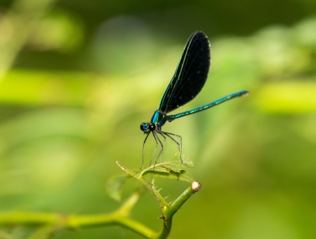 odonatology: Male Ebony Jewelwing damselfly Calopteryx maculata perching on a leaf in Maryland during the Summer