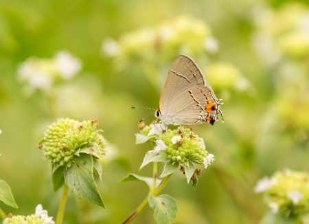 nectaring: Gray Hairstreak butterfly Strymon melinus feeding on meadow wildflowers in Maryland during the Summer Stock Photo