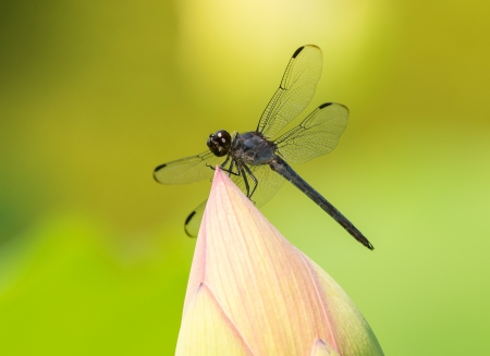 odonatology: Slaty Skimmer dragonfly Libellula incesta perching on a lotus flower in Maryland during the Summer Stock Photo