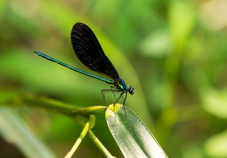 broad leaf: Male Ebony Jewelwing damselfly Calopteryx maculata perching on a leaf in Maryland during the Summer