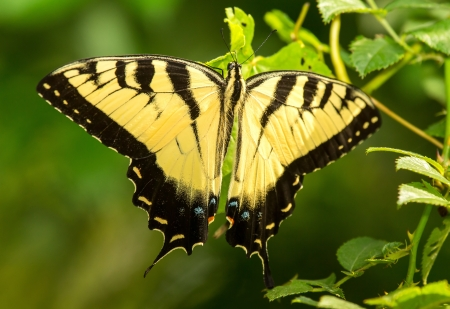 Eastern Tiger Swallowtail butterfly Papilio glaucus resting on a leaf in Maryland during the Summer Stock Photo