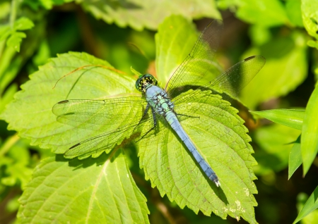 erythemis: Eastern Pondhawk dragonfly Erythemis simplicicollis resting on a leaf in Maryland during the Summer Stock Photo