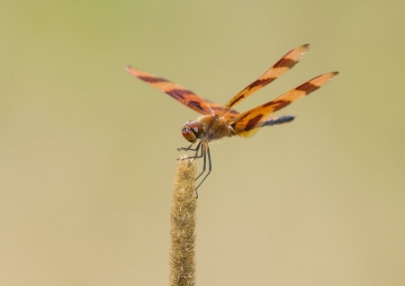 pruinose: Halloween Pennant dragonfly Celithemis eponina perching on a wild grass stem in Maryland during the Summer Stock Photo