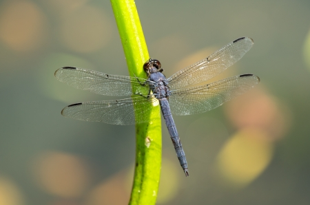 incesta: Slaty Skimmer dragonfly Libellula incesta perching on a reed in Maryland during the Summer