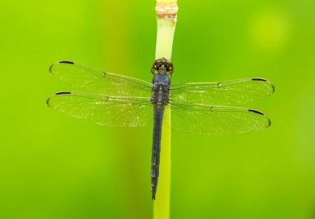 pruinescence: Slaty Skimmer dragonfly Libellula incesta perching on a reed in Maryland during the Summer