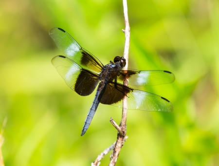 Widow Skimmer dragonfly Libellula luctuosa resting on a twig in Maryland during the Summer