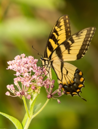 Eastern Tiger Swallowtail butterfly Papilio glaucus feeding on wildflowers in Maryland during the Summer photo
