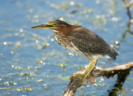 Little Green Heron Butorides virescens perching on a branch by a lake in Maryland during the Summer photo