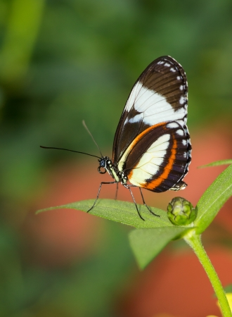 longwing: Cydno Longwing butterfly Heliconius cydno sitting on a green leaf Stock Photo