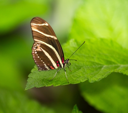 nymphalidae: Close up of a Zebra Heliconian butterfly Heliconius charithonia sitting on a green leaf Stock Photo