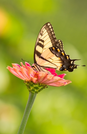 Eastern Tiger Swallowtail butterfly Papilio glaucus feeding on wildflowers in Maryland during the Summer