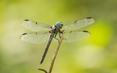 pruinose: Male Great Blue Skimmer dragonfly Libellula vibrans perching on a twig in Maryland during the Summer Stock Photo